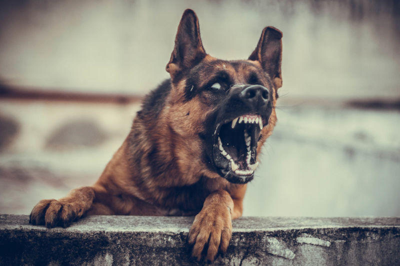 Aggression  Animal Body Part Canine Close-up Dog Domestic Domestic Animals Facial Expression Focus On Foreground Fury German Shepherd Looking Mammal Mouth Open No People One Animal Pets Purebred Dog Relaxation Sitting