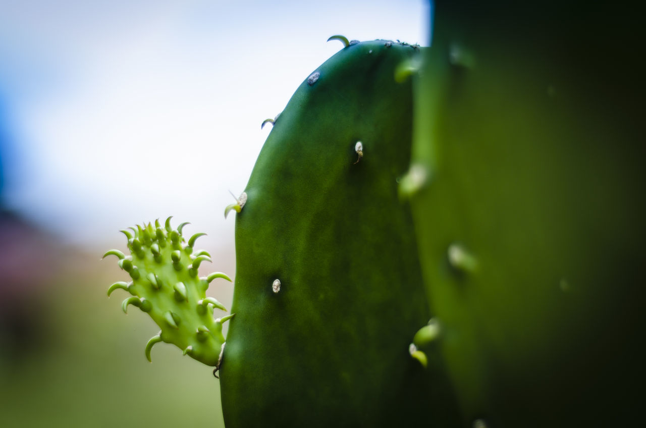 green color, growth, nature, close-up, freshness, no people, healthy eating, outdoors, beauty in nature, fruit, day, food, plant, leaf, prickly pear cactus, sky
