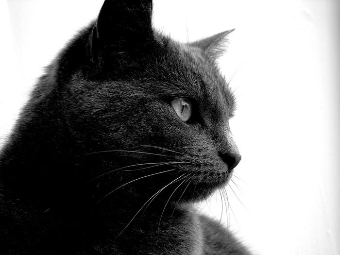 Staring at the birds outside (B/W edit) Alertness Animal Animal Body Part Animal Eye Animal Head  B/w B/w Collection B/w Daily B/W Photography Cat Cats Close-up Domestic Animals Domestic Cat Eye Em Cats Eye Em Scotland Feline No People Pets Portrait Scotland Selective Focus Staring Uk Whisker