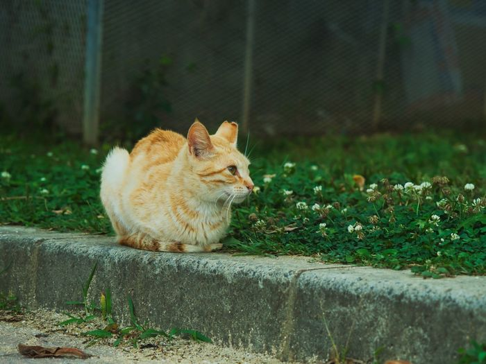 Okinawa Meow