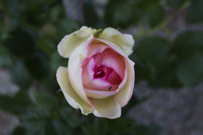 'Aunty Rose; Ant Close-up Flower Head Focus On Foreground Fragility Freshness Insect Nature Petal Pink Color Rose - Flower