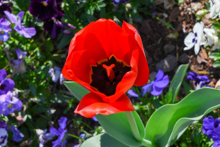 Red Tulip 3191