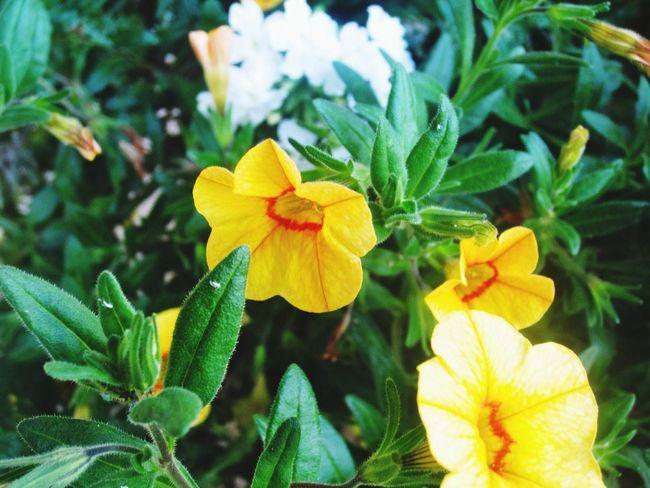 Narure EyeEm Nature Lover Yellow Flower Flower