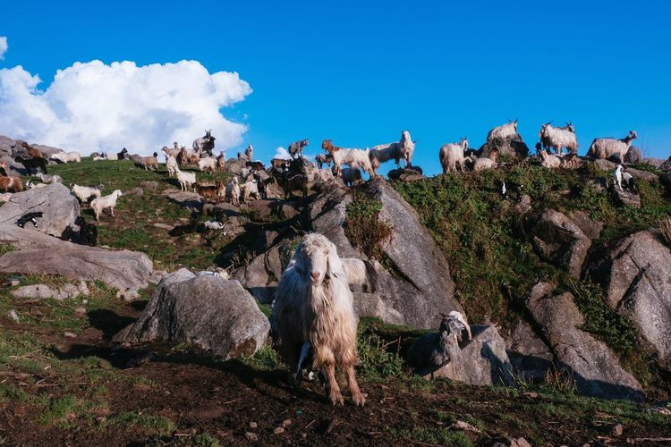 Animal Themes Rock - Object Nature Outdoors Day Livestock Mammal Sky Domestic Animals No People Large Group Of Animals Animals In The Wild Sheep Bird Himalayas Beauty In Nature Goat Triund Mountain Perching