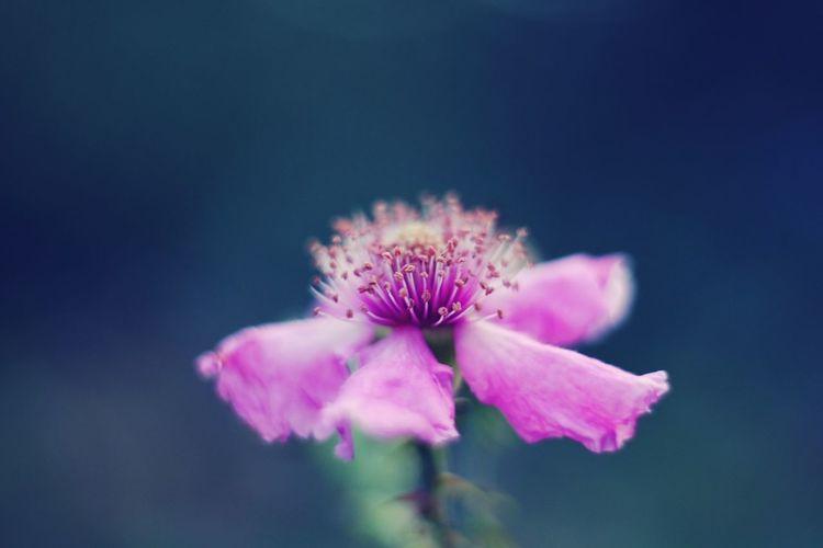 EyeEm Selects Flower Head Flower Pink Color Petal Purple Close-up Sky Plant