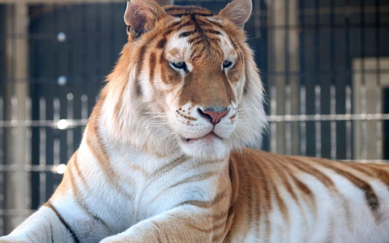 Close-up of tiger relaxing at zoo