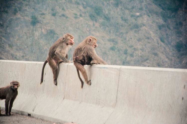 Monkeys Sitting On Retaining Wall Against Mountain