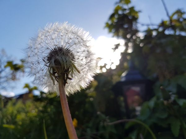 Dandelion Flower Fragility Nature Growth Softness Focus On Foreground Beauty In Nature Close-up Day Plant No People Sky Windtravellers Blowing Make A Wish Capture The Moment SGS7 EyeEmBestPics April 2017 Dendelion Eye4photography  No Edit/no Filter My Garden Springtime for you my lady😘