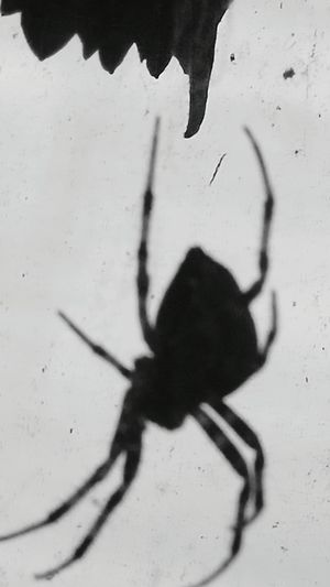 Shadow Grayscale Black And White Outdoors Spider Animal