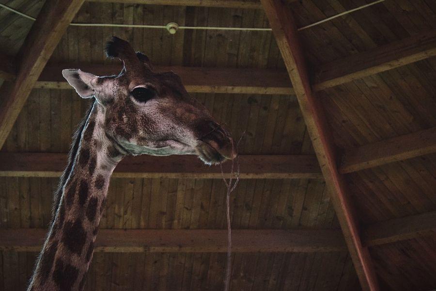 Giraffe Animal Themes Wood - Material No People Indoors  One Animal Brown Mammal Giraffe Head Giraffe ♡ Giraffe♥ Giraffes Giraffe Animal Portrait Animal_collection Animal Head  Animal Photography Zoo
