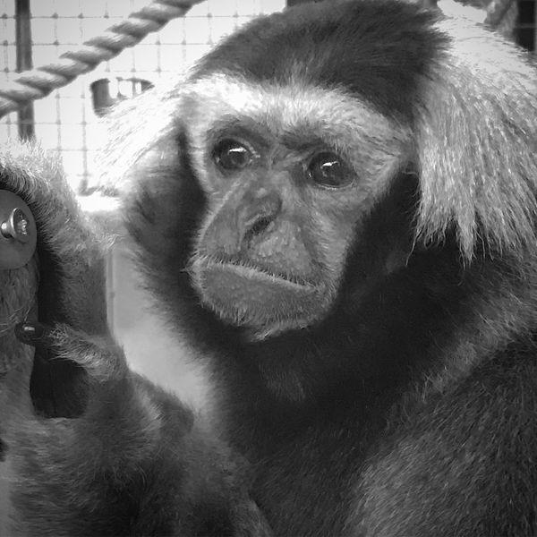 Colchester Zoo Gibbon One Animal Animal Themes Mammal Monkey Cage Ape Animal Wildlife No People Chimpanzee Orangutan Looking At Camera Domestic Animals Close-up Portrait Outdoors Day Nature