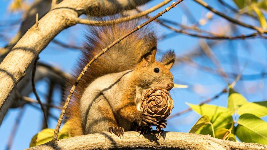 Squirrel Animal
