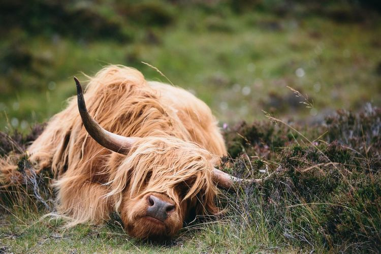 Highland cattle resting on grassy field