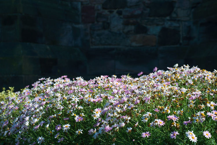 chrysanthemum flowers blossoming in wind and sunlight with old stone wall in darkness as background. Ancient Autumn Background Blossoming  Contrast Crysanthemum Daisy Dark Flowers Light And Shadow Nature Season  Sunlight Wall Wind