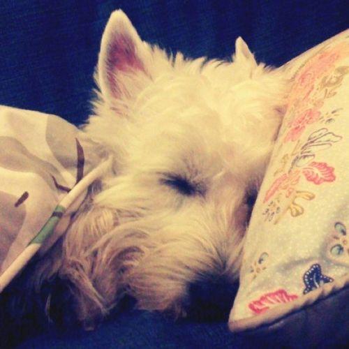 Sweet dream Petstagram Dogsofinstagram Dogstagram Plamuek Westie Picpets Dog