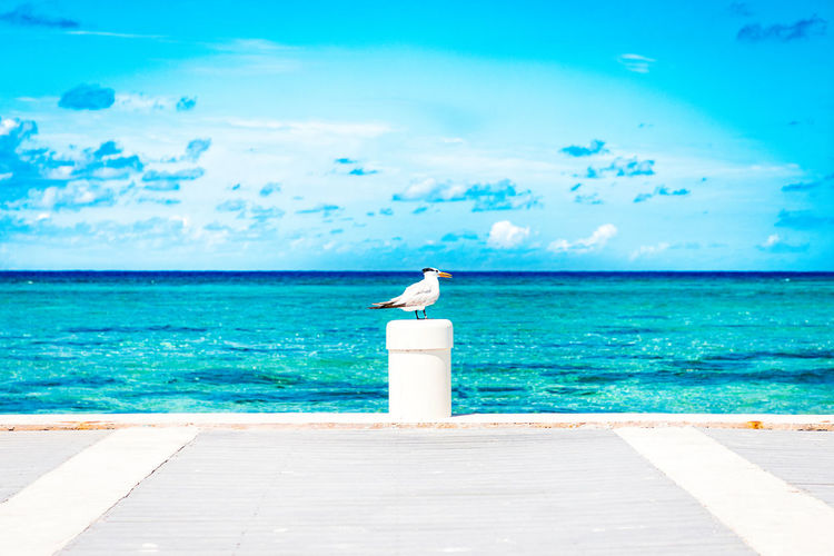 Lone seagull standing watch on a pier post by the clear blue water of grand cayman