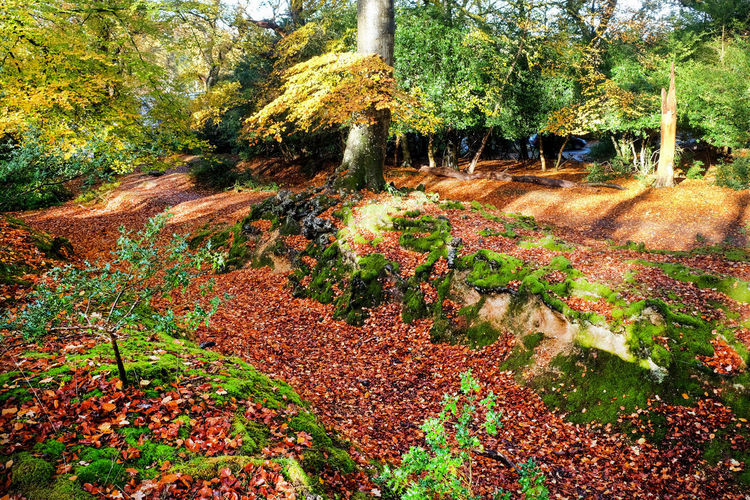 Brockenhurst Autumn colors New Forest, Hampshire. UK Pathway In The Forest Plant Autumn Tree Beauty In Nature Growth Change Tranquility Plant Part Leaf Forest Land No People Scenics - Nature Tranquil Scene Environment Outdoors Tree Trunk Park WoodLand Fall Leaves