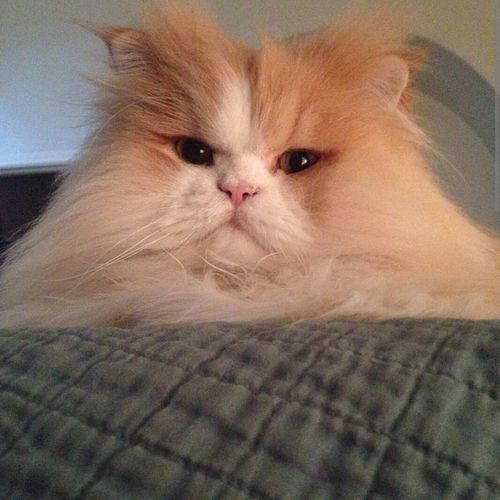 """This is my cats """"leave me alone""""face Cat Lovers Parsian Cat"""