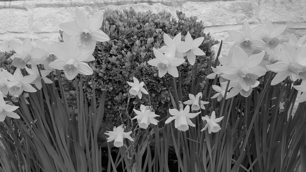 Growth Plant Flower No People Beauty In Nature Outdoors Black And White Daffodils Springtime