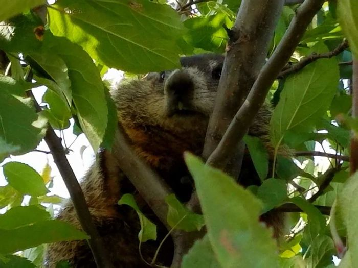 Woodchuck In My Tree! Branch Mammal Low Angle View Close-up Big Teeth Animal Themes Nature No People Growth Leafy Lover!