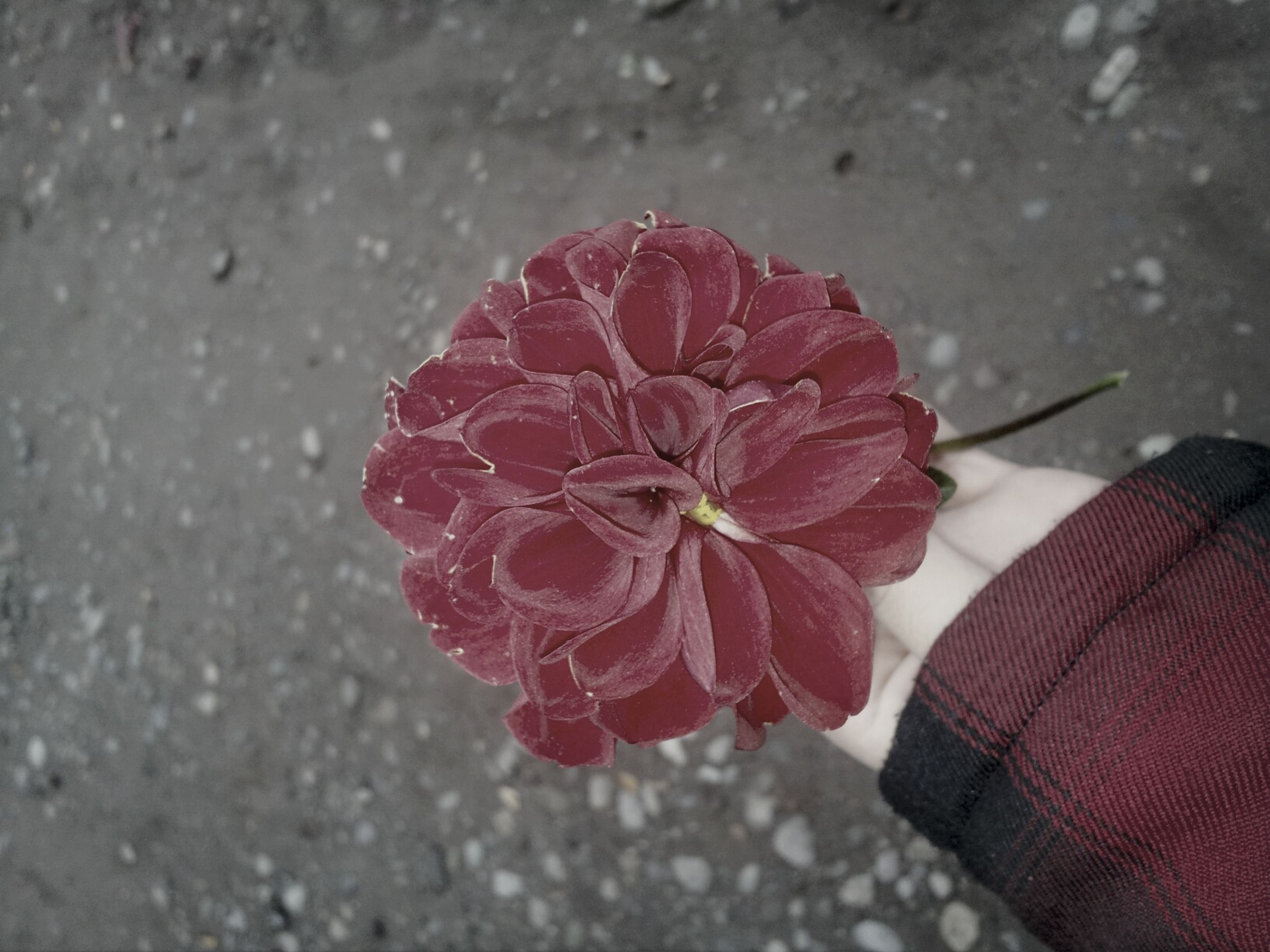 flower, fragility, petal, flower head, close-up, single flower, high angle view, freshness, nature, beauty in nature, red, wet, water, pink color, outdoors, season, day, directly above, growth, no people