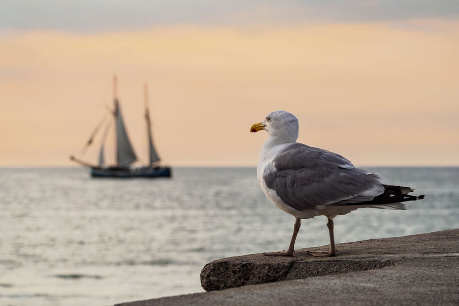 Sailing ships on the Baltic Sea in Warnemuende, Germany. Baltic Sea Hanse Sail Relaxing Rostock Sailing Ship Sea Gull Tall Ship Warnemünde Coast Evening Journey Nature No People Ocean Outdoors Seagull Shore Sky Sunset Tourism Travel Destinations Vacation Warnemuende Water Windjammer