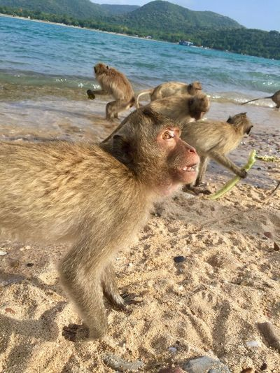 Animal Themes Beach Sea Sand Nature Outdoors Animals In The Wild Water No People Day Mammal Beauty In Nature Togetherness Close-up Monkey Monkey Island Pataya Thailand EyeEmNewHere