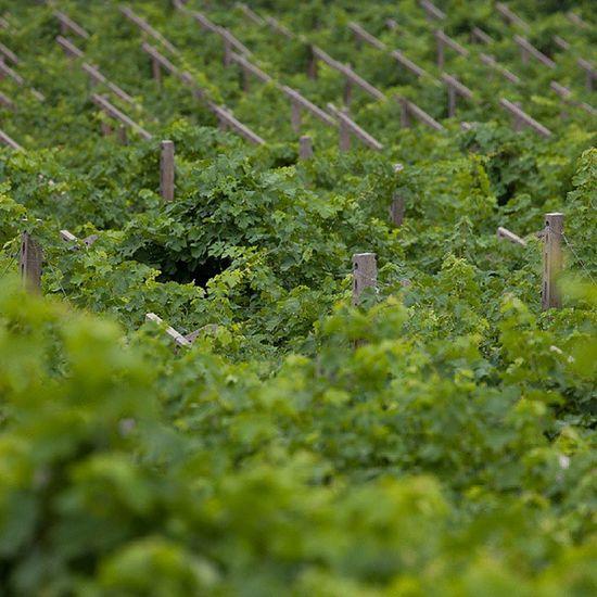 Pattern , Vineyard , Wine Valpolicella , EXPO2015sportsmile Indipendentipernatura