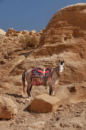 Resting horse in petra valley.