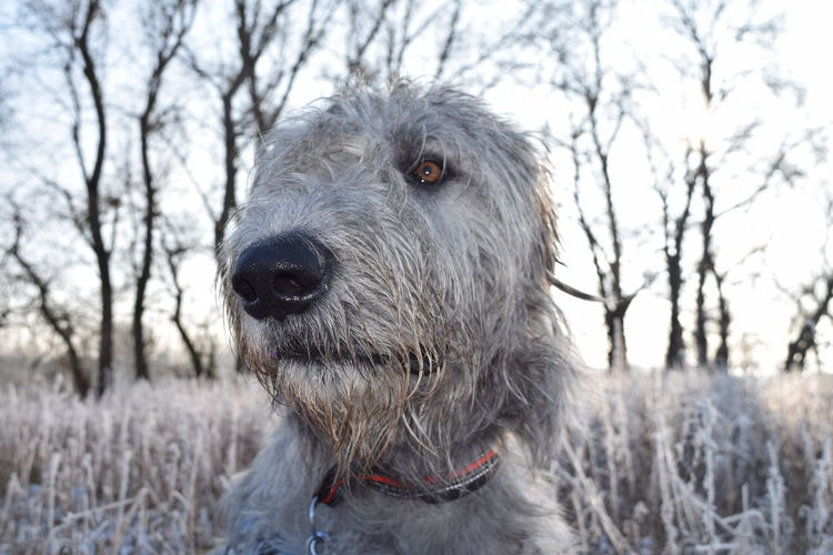 One Animal Animal Themes Tree Animal Wildlife Outdoors Winter 2017 January 2017 Portrait Irish Wolfhound Cearnaigh Dogs Of EyeEm Dogs Of Winter Snowing Bokeh Beauty In Nature Nature Winter