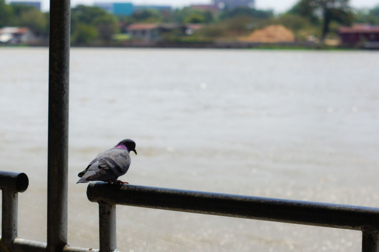 #river #ubon #ubonratcha Relaxing Animal Themes Animal Wildlife Animals In The Wild Bird Close-up Day Focus On Foreground Nature No People One Animal Outdoors Perching Railing Water