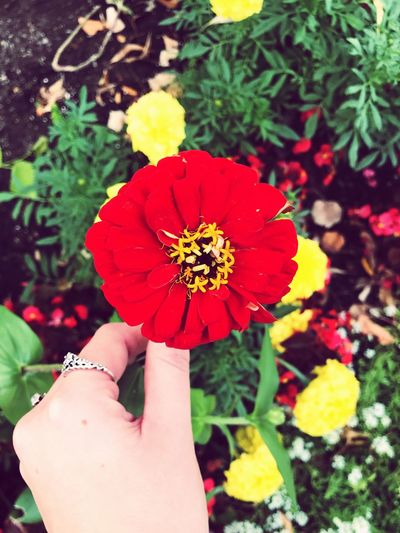 Flowers Human Hand Flower Flowering Plant Hand Plant Freshness Beauty In Nature Fragility Petal Nature Red Flower Head
