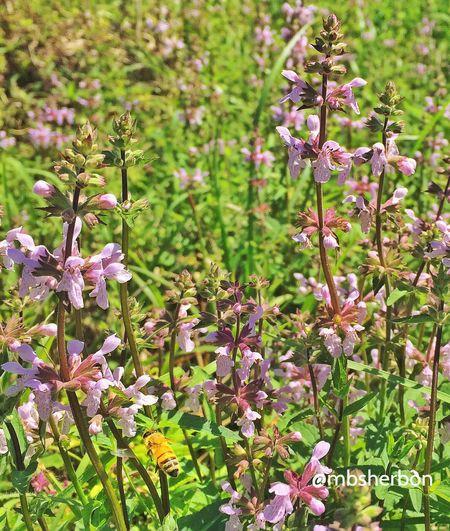 Wildlife Eye4photography  Nature EyeEm Nature Lover Florida Finding Beauty Landscape_Collection Wildflowers HoneyBee Purple