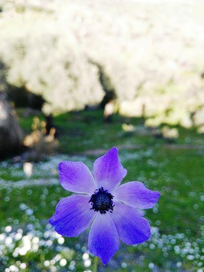 beauty flower in the wildland Flower Purple Nature Wild Turkey Aydın/Turkey Turkey Amaturephotography Outdoor Photography Sunny Day