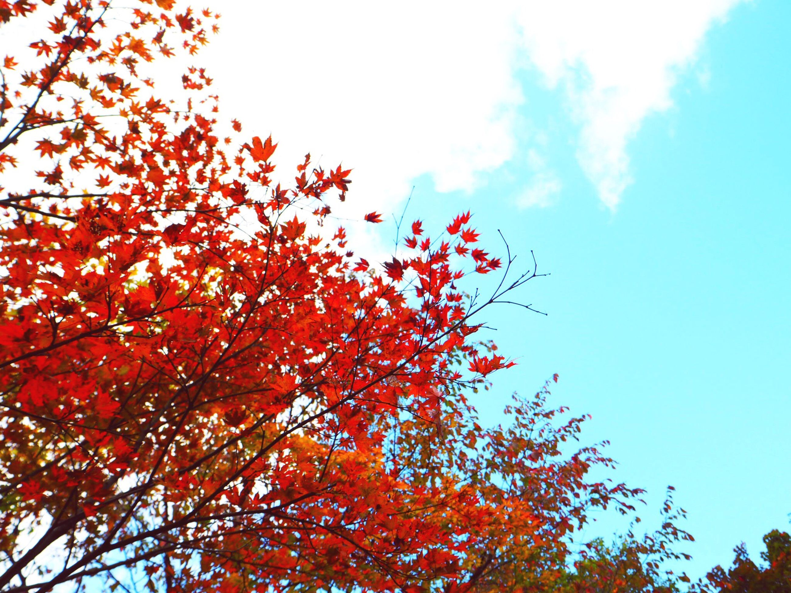 tree, low angle view, autumn, nature, branch, growth, beauty in nature, change, outdoors, day, no people, sky, red, leaf, freshness