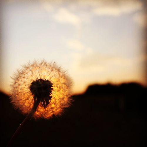Make a wish... #sunset #flowers #field #nature #landscape #streetphotography #wish #blow #seeds #sky #bluesky #clouds #macro #closeup #sun #garden #dandelion