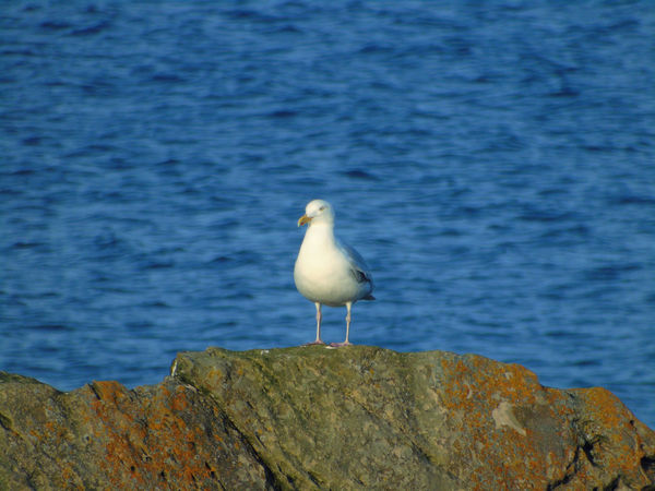 Seagull on the rocks Beauty In Nature Bird Birds Of EyeEm  Blue Day Eye Em Scotland Focus On Foreground Nature No People Ocean Outdoors Perching Rippled Rock Rock - Object Scenics Scotland Sea Seagull Sky Tranquil Scene Tranquility Uk Water Wildlife