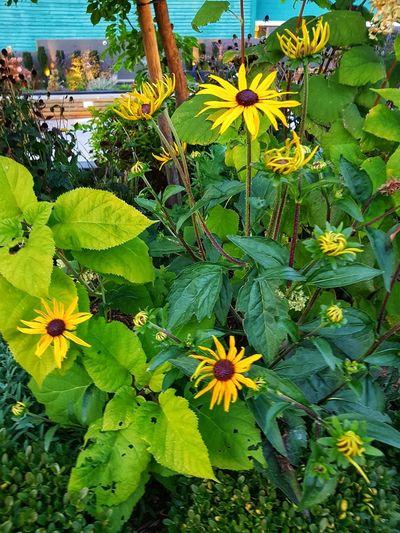 Black eyed Susan's survivors. Black Eyed Susans Flower Head Flower Leaf Close-up Plant Green Color EyeEmNewHere
