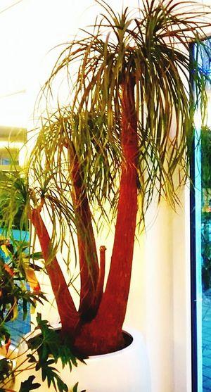 Elefantenfuss Indoor Window Palm Tree No People Green Best EyeEm Shot
