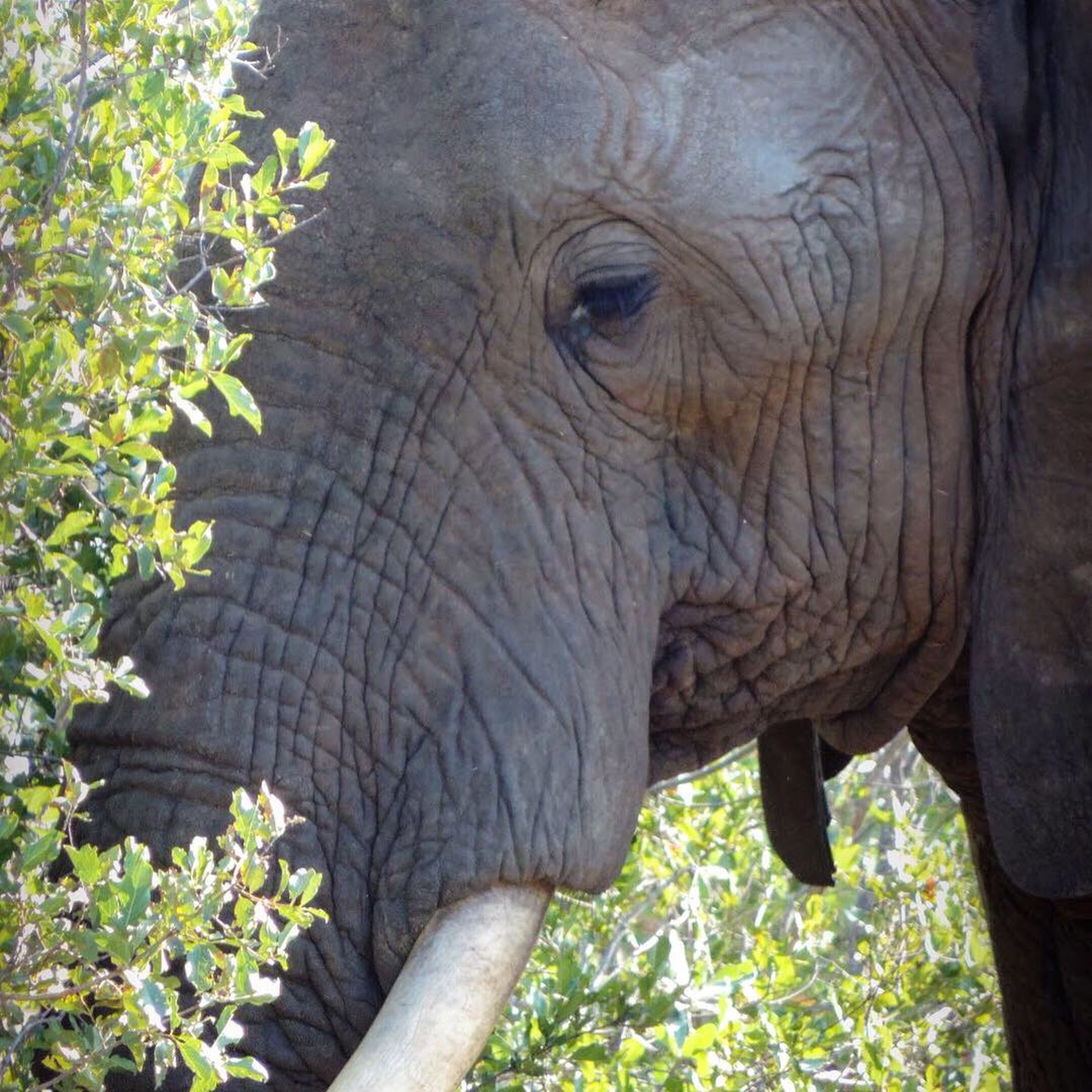 animal themes, animal, one animal, animal wildlife, mammal, animals in the wild, elephant, animal body part, plant, day, nature, no people, vertebrate, safari, animal head, outdoors, close-up, tusk, sunlight, herbivorous, animal trunk, african elephant, profile view