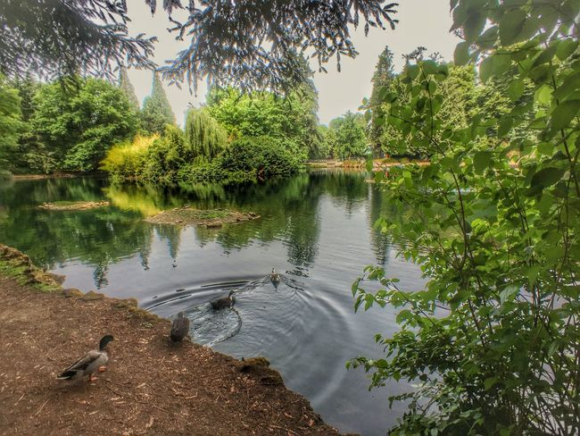Ducks walking to a pond Pond Life