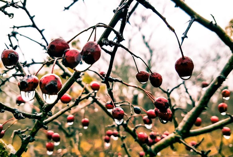 Freshness Fruit Growth Low Angle View No People Outdoors Rose Hip