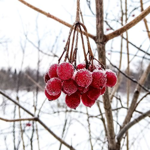 #рябина #русскийлес #зима #снег #мороз #морозец #winter #snow #russia #tree #forest Hanging Red Day Close-up Branch No People Christmas Decoration Tree Christmas Winter Outdoors Beauty In Nature Nature Sky Flower Snow