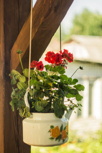 Belarus Minsk Beauty In Nature Close-up Day Flower Flower Arrangement Flower Pot Flowering Plant Focus On Foreground Freshness Growth Leaf Nature No People Outdoors Plant Plant Part Potted Plant Red