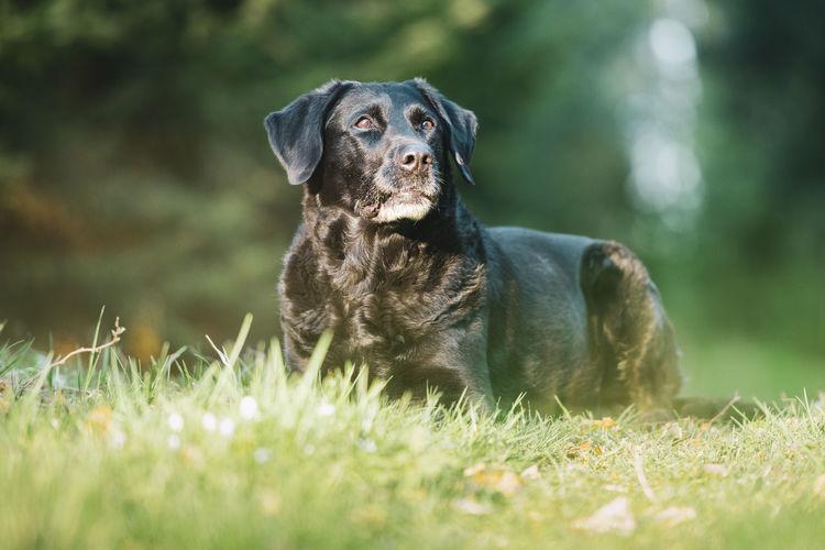 Black labrador retriever dog portrait in the forest