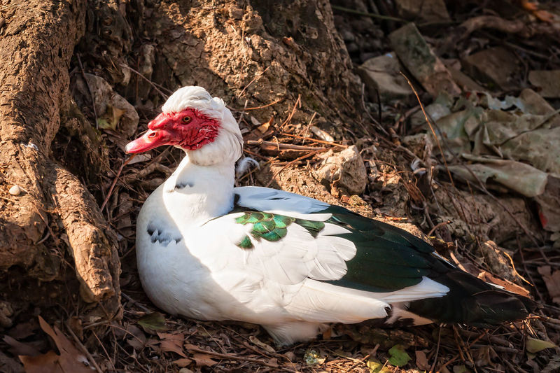 Close-up of muscovy duck