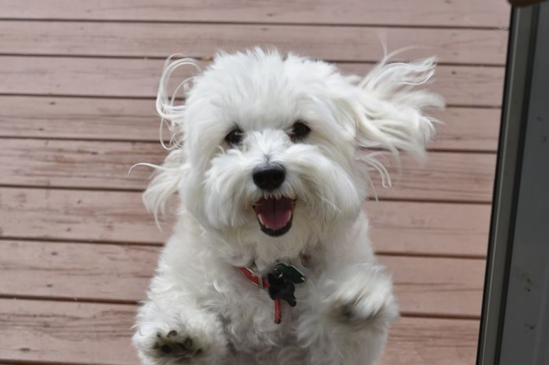 Love my pup❤️ Pets Dog Close-up Maltipoo White Dog Silly Boy AdoptDontShop Whorescuedwho Puppy Puppy Love Animal Pet Photography