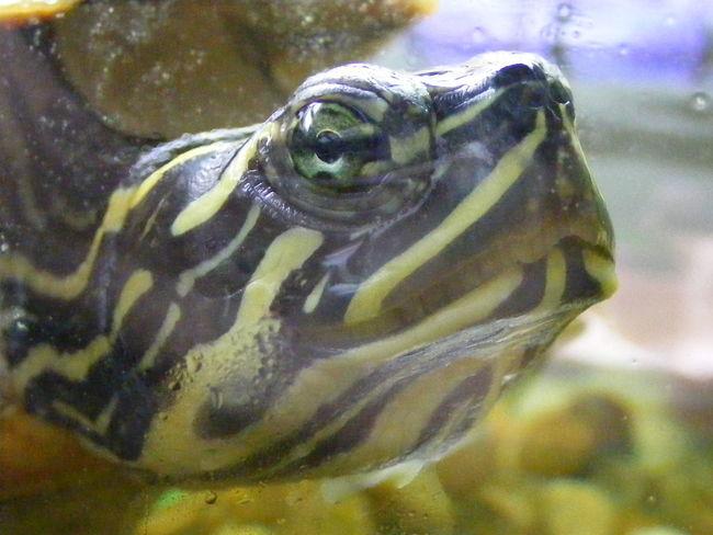 Animal Animal Head  Animal Themes Aquarium Cooter One Animal Reptile Terrapin Turtle
