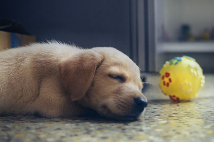 Eat, play, sleep Puppy Innocence sleeping Pluto Daily Routine Eyeemphoto Labrador Labrador Retriever Animals Pets