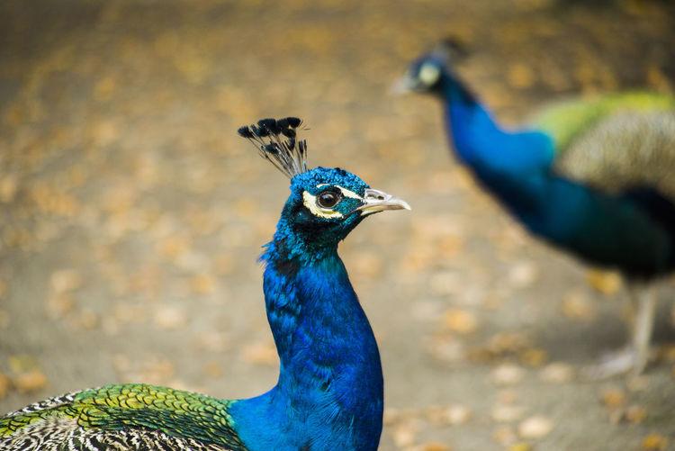 Close-Up Of Peacocks